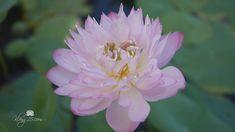 Nelumbo nucifera 'Szimpla' Lotus บัวหลวงขนาดเล็ก 'ซิมบ้า' Garden, T. Nelumbo Nucifera, Pink Lotus, Thailand, Garden, Flowers, Plants, Garten, Lawn And Garden, Gardens
