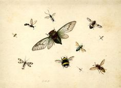 / / . Study of insects including a bee, and various flies Watercolour and bodycolour, strengthened with gum . Herman Henstenburg 1682-1726