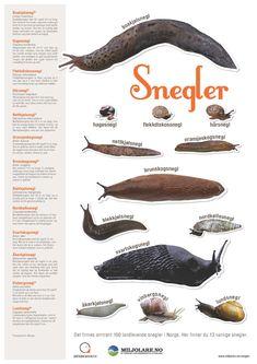 naturfag.no: Snegler Filing