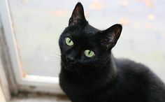 Top 10 Reasons to Love Black Cats. Black cats have a hard time getting adopted out of shelters. But August 17 marks Black Cat Appreciation Day, and we have plenty of reasons why you should love these black feline beauties. Black Cat Good Luck, Noir Ebene, Black Cat Appreciation Day, Gato Animal, Bombay Cat, Cat Names, Beautiful Cats, Cat Breeds, Cat Love