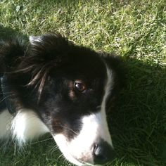 Molly the Boarder Collie