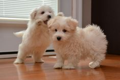 Image result for pictures of Coton de Tulear puppies