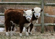 MINI CATTLE -- perfect for our 3 acres! mini cattle the size of a dog when full grown? Why am I just learning about this now? I know what pet I'd like to add to the Menagerie! Mini Hereford, Miniature Hereford, Miniature Cattle, Hereford Cattle, Mini Cows, Mini Farm, Large Animals, Cute Animals, Barnyard Animals
