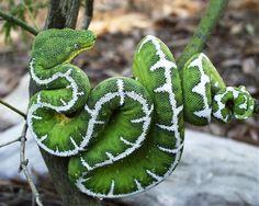 BestPhotosEver Green Emerald TreeBoa snake