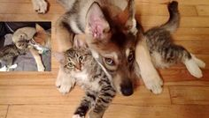 """They went to the shelter with their puppy and let her help them adopt a new kitty. This is what happened when they let their puppy choose a furiend. """"What you get when you let your puppy pick out a buddy..."""" They even look alike! """"(I) took the puppy to the shelter and showed her four kittens. These ..."""
