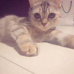 . 👀💓💓 . 家帰ったら台所の床におしっこされてた🤦♂️笑 可愛いから何でも許せる。w . #ねこ#猫#cat#にゃんすたぐらむ #スコティッシュフォールド  #ねこあつめ#ねこ好き#猫好きさんと繋がりたい #ねこ部#cute#ねこすたぐらむ#愛猫#癒し#可愛い#love #instacat#instapet#catstagram#petstagram  #mypet#ilovemycat#ilovemypet #japanesecat#japan#fukuoka#福岡 #scottishfold#followme#l4l#ペコねこ部