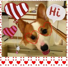 #Pembroke #Welsh #Corgi #Cute #Dog
