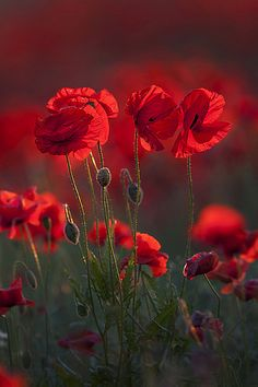 Flowers red poppies 17 ideas for 2019 Red Poppies, Poppy Flowers, Belle Photo, Mother Nature, Flower Power, Planting Flowers, Beautiful Flowers, Nature Photography, Photography Flowers