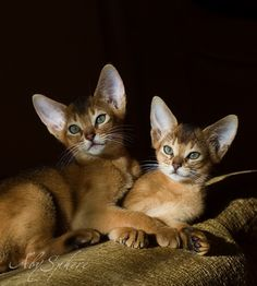 Pretty faces --- Abyssinian kittens