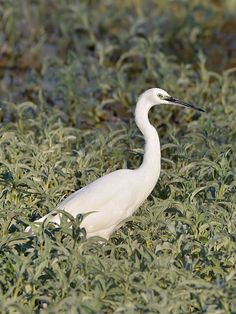 Egretta garzetta (Kafue pond) - Categorie: garzetta - Wikimedia Commons