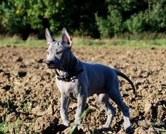 Thai Ridgeback Dog Cute Dogs And Puppies, Doggies, Thai Ridgeback, Dog Rules, Trd, Boxers, Country Of Origin, Best Dogs, Thailand