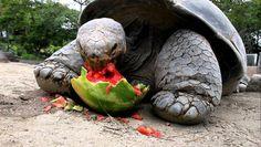 Galapagos Tortoise Enjoying a Watermelon
