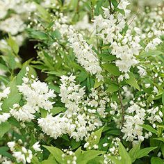 Deutzia A waterfall of white spring blossoms on cascading branches signals that deutzia is in bloom. Positioning this hardy shrub near a low wall or fence and allowing the branches of foamy flowers to spill over is the best way to showcase its late-spring beauty. The compact ...Showy deutzia forms a large shrub up to 10 feet covered with large white flowers in spring.