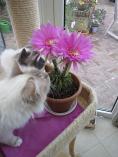 Echinopsis obrepanda purpurea. My cats Bijoux and Daisey like these flowers too.
