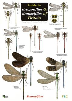 Dragonfly Identification Chart