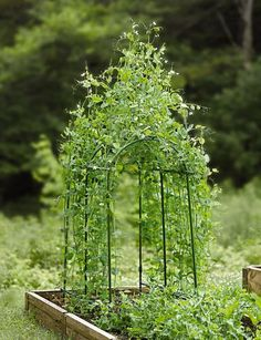 Pea Tunnel - Gardener's Supply Company - they recommend especially for raised beds/space saving.  I already have pea fence, but this would be lovely if (WHEN?!) I manage to turn parts of the front lawn into food garden too.  Picture with the purple flowers of Carouby de Maussanne snow peas - who'd know it was food, especially with nasturtiums or something below?