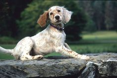 How could I ever forget when we met and fell instantly in love?  My sweet Hayes!  The best bird dog and friend.