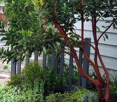 arbutus andrachnoides tree