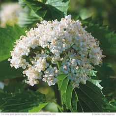 Use these 3 blooms where deer are a problem or simply for more color. // 'Blue Muffin' arrowwood viburnum Viburnum dentatum