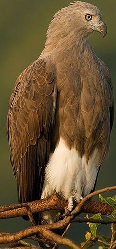 Lesser Fish Eagle