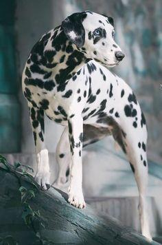 Dalmatians, Puppies, Dogs, Life, Animals, Cubs, Animales, Animaux, Dalmatian