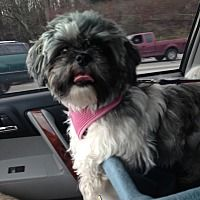 773 Best Shih Tzus Up For Adoption Images In 2019
