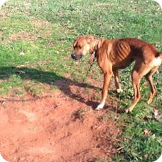 2/3/17 URGENT!!! Clarkesville, GA - Boxer/Boxer Mix. Meet Roxie: Victim of Animal Cruelty TWICE!, a dog for adoption. If any dog deserves a Happily Ever After, It's Roxie. She's spent half her life 'in the system'.   Please, help us find Roxie a home before it's too late! For so long she was under the 'safety' of a 'court hold' but now, Roxie is in danger... http://www.adoptapet.com/pet/17033100-clarkesville-georgia-boxer-mix
