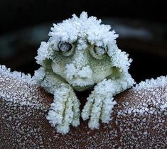 During the cold winters the Alaskan Wood Frog (Rana sylvatica) becomes a frog-shaped block of ice. It stops breathing and its heart stops beating. When Spring arrives the frog thaws and returns to normal. (from /u/loopdeloops) Animals And Pets, Funny Animals, Cute Animals, Strange Animals, Unusual Animals, Beautiful Creatures, Animals Beautiful, Animals Amazing, Frog And Toad