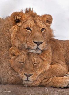 Lion Couple by René Hablützel Nature Animals, Animals And Pets, Cute Animals, Wild Animals, Lion Pictures, Animal Pictures, Beautiful Creatures, Animals Beautiful, Lion Couple