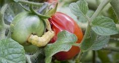 Tieto rastliny nikdy nepestujte spolu! Country Life, Vegetable Garden, Herbs, Gardening, Stuffed Peppers, Vegetables, Food, Milan, Gardens