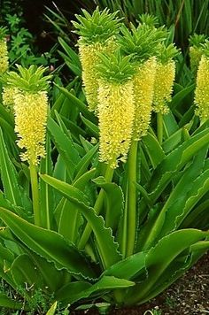 Yellow Flowers Bring a Blast of Sunshine to the Summer Garden Pineapple Lily.these would look great with the agaves! Unusual Flowers, Rare Flowers, Amazing Flowers, Yellow Flowers, Beautiful Flowers, Lavender Flowers, Beautiful Gorgeous, Pineapple Flowers, Tropical Flowers