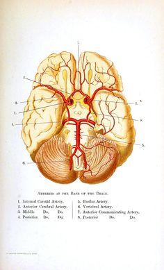 vintage medical illustration (in the public domain)