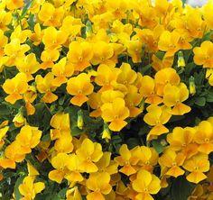 Bulk Pansy Seeds Pansy Cascade Beauty