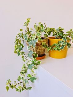 English Ivy 'Hedera Helix' Oh so underrated, but who could ignore those beautifully variegated leaves. A must-have for your tiny urban jungle. Ivy Plants, Houseplants, Indoor Plants, Hedera Helix, Plant Cuttings, Hanging Plants, Lush, Roots, Homes