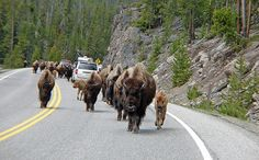 Traffic Jam when you're already late...no need to worry about time. Spend the time you have exploring #Yellowstone