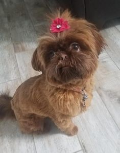 Quality ShihTzu for quality homes for Pets and Therapy dogs. We offer LIFETIME advice for your Glory Ridge ShihTzu. Imperial shihtzu to standard size shihtzu in every color. Cutest Small Dog Breeds, Best Dog Breeds, Puppy Breeds, Shitzu Puppies, Cute Puppies, Cute Dogs, Dogs And Puppies, Doggies, Shih Tzu Hund