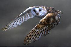 Bird, Barn Owl, Flying