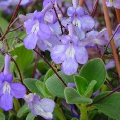 Solanum rantonnetii nombre popular tipolog a arbustos de for Arbustos de hoja perenne resistentes al frio
