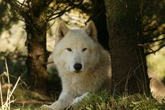 The arctic wolf (Canis lupus arctos), also known as the white wolf or polar wolf, is found in Canada, Alaska, northern Minnesota and northern parts of Greenland. Although most arctic wolves are white, their newborn pups are a dark chocolate brown color that gradually lightens as they mature.