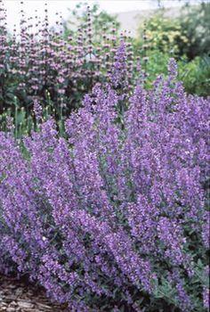 nepata walker's low-budd's garden-ottawa,ontario