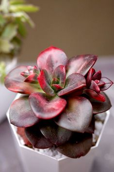 wondering how often to water your succulents? Or you be worried that your succulent may be dying due to over- or under-watering? Learn how to water succulent plants properlly over- or under-watering and Thriving indoor or outdoor. How To Water Succulents, Colorful Succulents, Growing Succulents, Succulents In Containers, Cacti And Succulents, Planting Succulents, Planting Flowers, Echeveria, Cactus Plante
