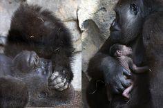 """NACIMIENTO EN EL ZOO. La gorila de 10 años de edad, Nalani, sujeta en brazos a su cría tras dar a luz ayer de forma natural y a la vista del público en el Bioparc Valencia. Según han informado el zoo valenciano, todo ello no ha impedido a la joven y primeriza madre """"asombrar a los visitantes al dar volteretas de alegría, eso sí, protegiendo cuidadosamente a su bebé"""". (EFE)"""