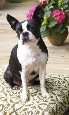 Love Boston Terriers by lea