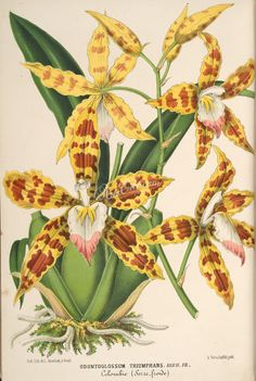 The Biodiversity Heritage Library works collaboratively to make biodiversity literature openly available to the world as part of a global biodiversity community. Vintage Botanical Prints, Botanical Drawings, Botanical Art, Nature Illustration, Floral Illustrations, Botanical Illustration, Illustration Botanique Vintage, Orchid Drawing, Orchid Images