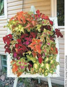 [HOW TO GUIDE] Coleus plant brings bright colors and easy care to the garden. Coleus leaves, not the coleus flower creates impact - [CARE and USES] Garden Yard Ideas, Garden Planters, Garden Projects, Unique Gardens, Beautiful Gardens, Outdoor Plants, Outdoor Gardens, Container Gardening, Gardening Tips