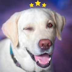 Goodbarkreviews - Home Dog Flea Remedies, Dog Grooming, Fleas, Labrador Retriever, Health, Dogs, Animals, Labrador Retrievers, Animales
