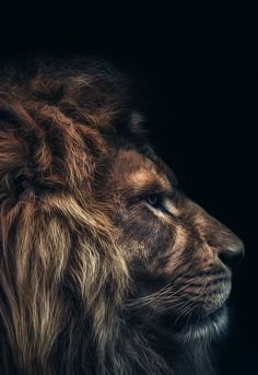 """Lion (by Harry Schindler)"" Lion Wallpaper, Dark Wallpaper, Beautiful Cats, Animals Beautiful, Wild Animal Wallpaper, Animals And Pets, Cute Animals, Lion Photography, Wild Lion"