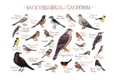 Backyard Birds of California Field Guide Art Print. This watercolor painting features 25 Backyard Birds of California as a field guide chart. It features the following birds: American Crow, American Goldfinch, American Robin, Anna's Hummingbird, Bewick's Wren, Black Phoebe, Bushtit, California Towhee, Chestnut-backed Chickadee, Cooper's Hawk, Dark-eyed Junco, Golden-crowned Sparrow, House Finch, House Sparrow, Lesser Goldfinch, Mourning Dove, Northern Flicker, Northern Mockingbird…