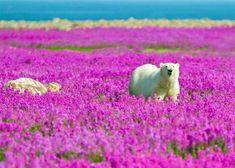 Polar bear in fireweed!