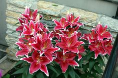 These flowers stink, Oriental Lilies. Oriental Lily, Lilies, Flowers, Plants, Gardens, Flora, Plant, Irises, Royal Icing Flowers
